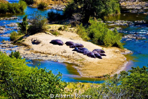 Hippos sleeping at the sun near the river in Kruger Park by Alberto Romeo 